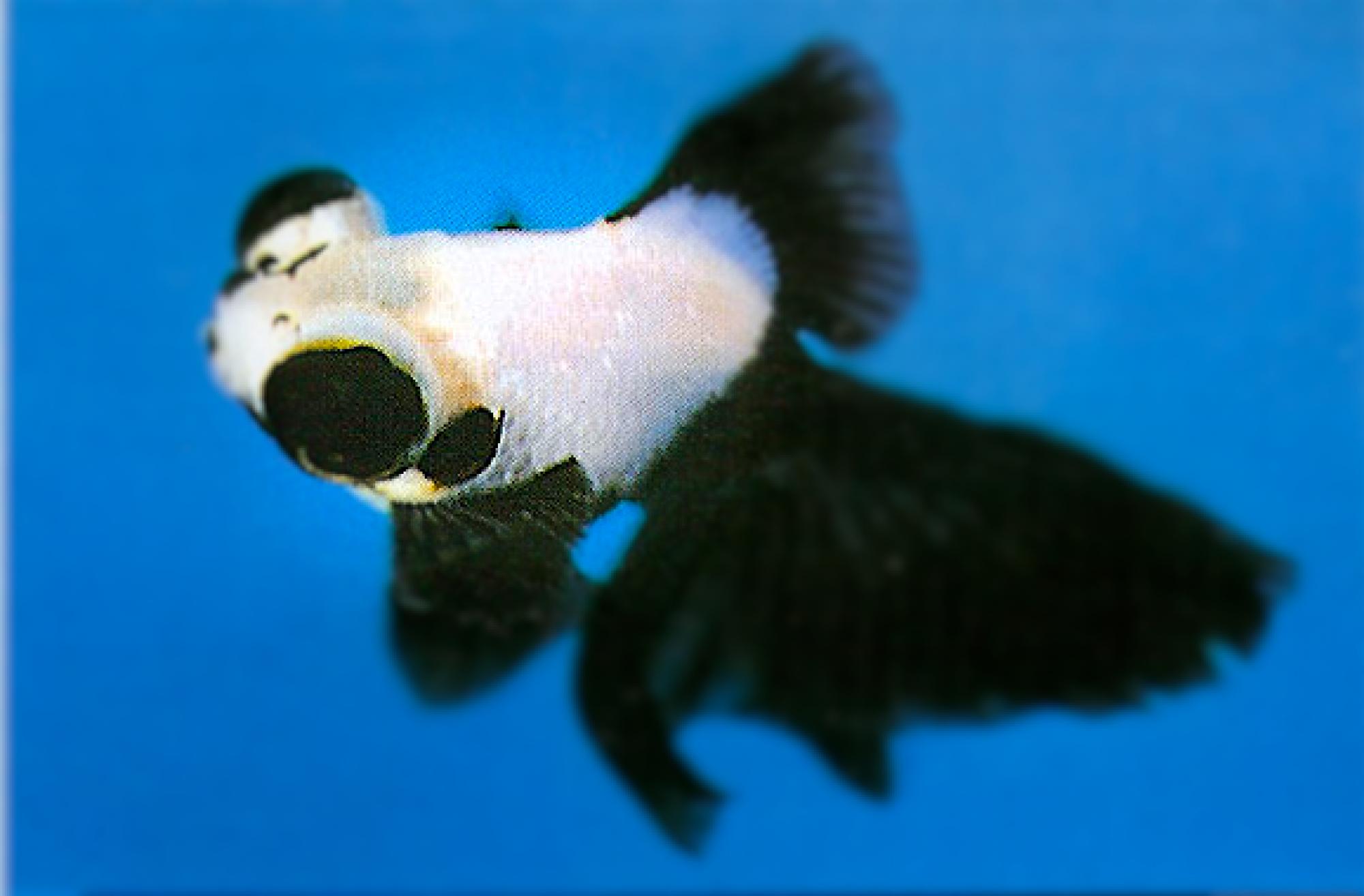 パンダ金魚プロジェクト